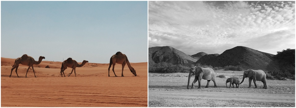 A diptych of camels and elephants