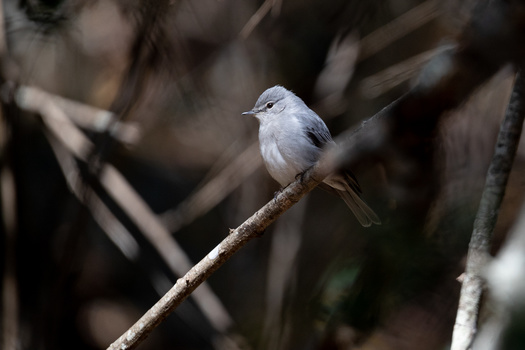 African flycatcher perched on a branch against a dark background