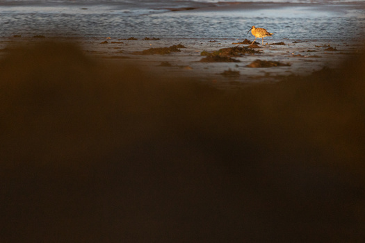 wading bird on the sandy coast at low tide during sunrise