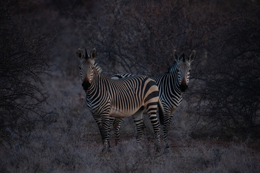 raw wildlife image of a zebra straight out of camera