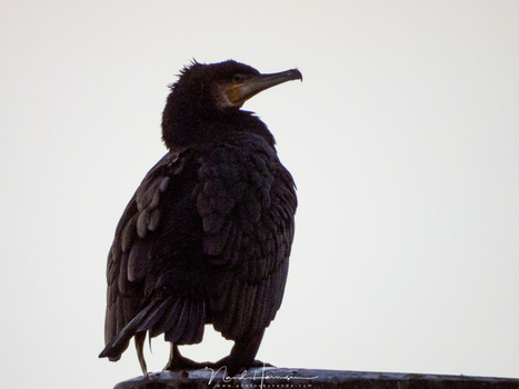 A cormorant up close. This is possible thanks to the large focal length. Unfortunately the high ISO value is degrading the quality too much. (3000 mm (FF equivalent) - ISO800 - f/8 - 1/125)