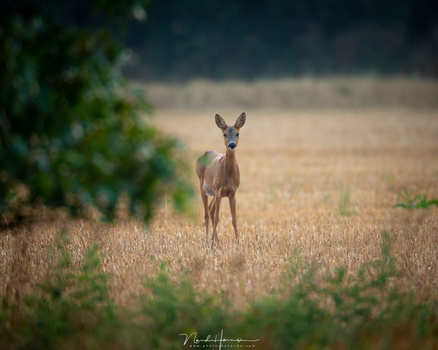 An example where the use of a longer focal length can make a difference. It would be impossible to get closer to this roe deer without scaring it away. It is the main reason for many, to have long focal lengths available. (Canon 1Dx + 800mm | ISO640 | f/5