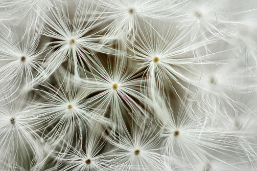 I once used a Canon MP-E65 lens, which I found very difficult to shoot with. It takes a lot of practice, but I like this close-up I made from the seedhead of a dandelion (EOS 5Dmk3 + MP-E65mm @ 4x magnification | ISO100 | f/2,8 | 1/10s)