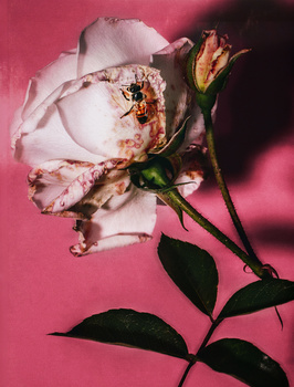 The rose and her friend by Walid Azami