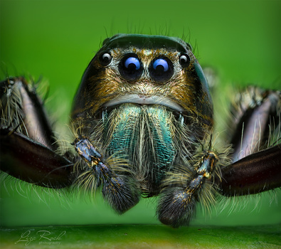 Jumping Spider Portrait - Photograph by Liza Rock
