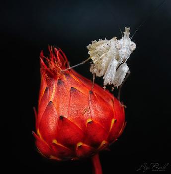 White Boxer Mantis on a flower - Photo by Liza Rock