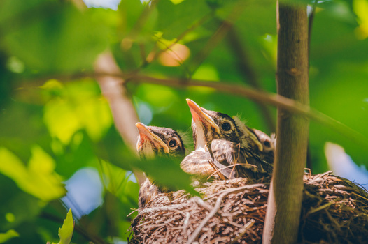 Baby robins in a nest in my yard earlier this spring. Nikon Z6 with FTZ adapter, Nikon TC-20E III 2x teleconverter, Nikon 70-200mm f/2.8e at 330mm. 1/640s, f/5.6, ISO800.