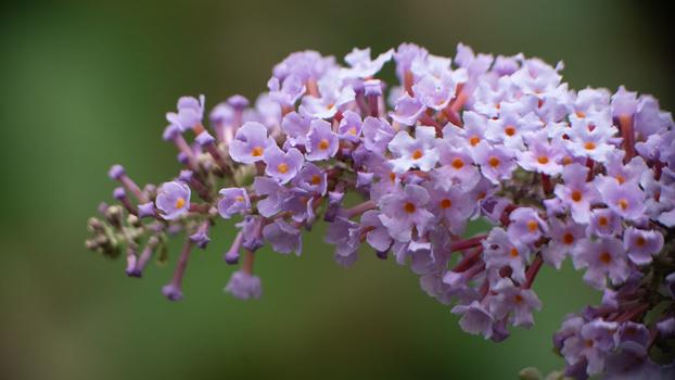 Buddleia flower macrophotograph