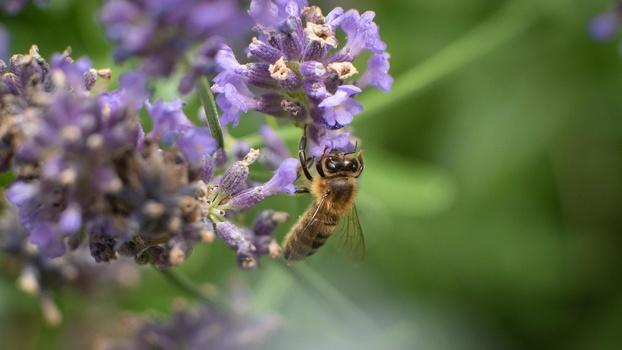 Honeybee on lavender flower