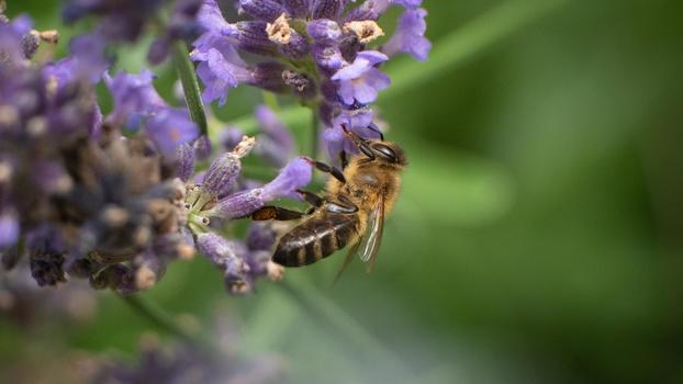 Macro of honeybee on lavender