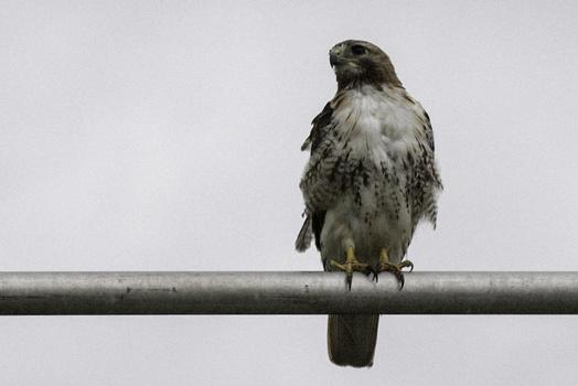 detail of a hawk, noisy image