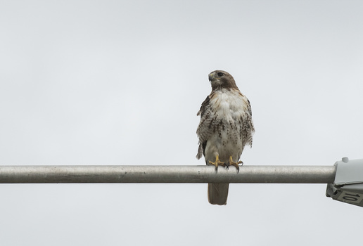 sharp image of a hawk on a lightpost
