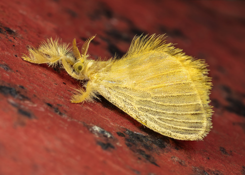 Acraga Infusa moth by Andres Moline