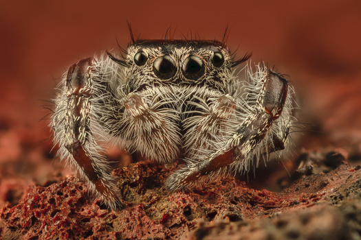 Asotus Jumping Spider by Andres Moline
