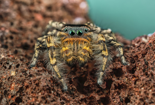 Phidippus comatus by Andres Moline