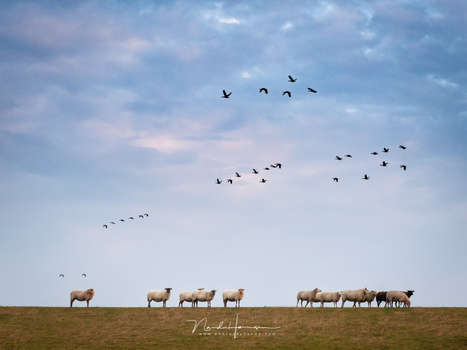Sheep on a dyke. (M.zuiko 12-40mm @ 40mm, ISO400, f/8, 1/125)