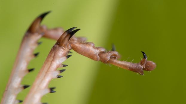 Grasshopper feet macro