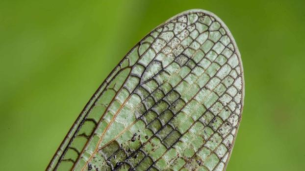 Grasshopper wing macro