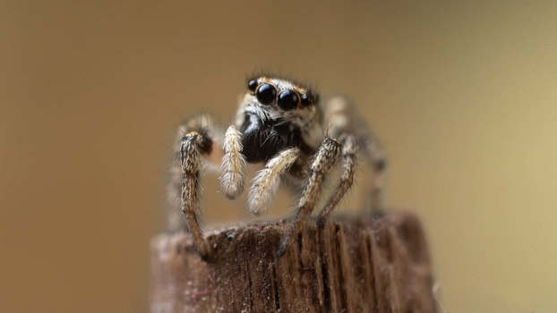 Zebra jumping spider portrait