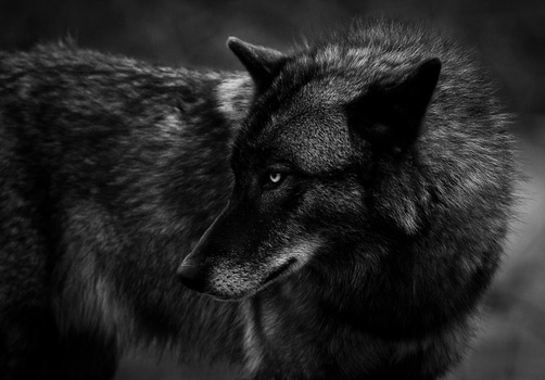 Wolf Profile of Nico - Troy Marcy on Fstoppers