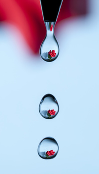 Dripping Rose