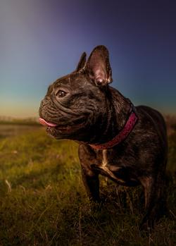 Lola the Frenchie