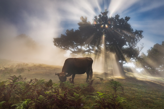 The perfect Moo-ment by Alexander Lauterbach