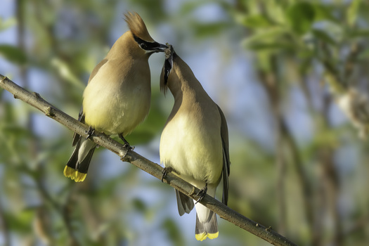 Waxwings2 by John Vander Ploeg