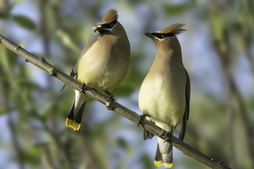 Waxwings by John Vander Ploeg