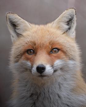 Fox portrait by Andrea Laerte Davide