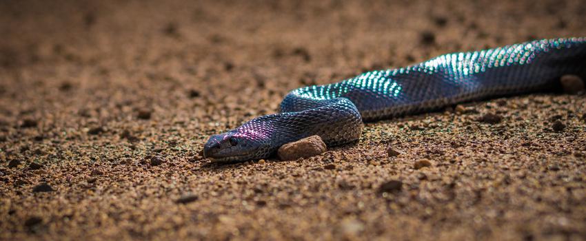 African Mole Snake by Scott kirkbride