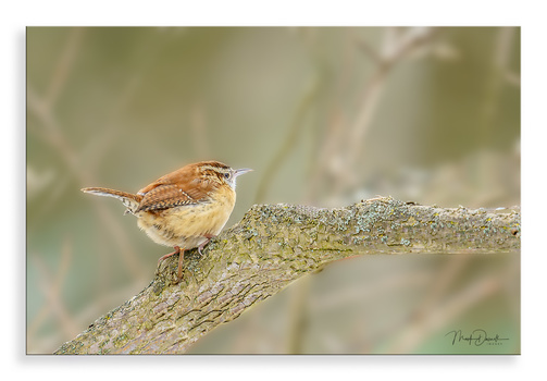 Carolina Wren by Mark Darnell