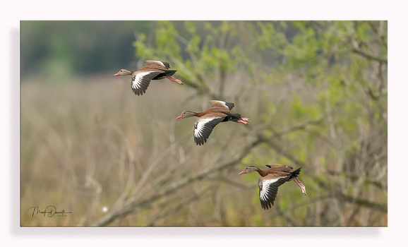 Whistling Ducks by Mark Darnell