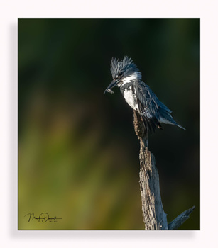Belted Kingfisher Fresh Catch by Mark Darnell
