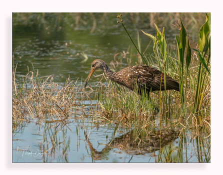 Limpkin At Work by Mark Darnell