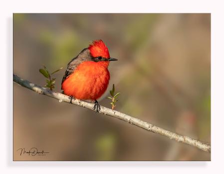 Content Vermillion Flycatcher by Mark Darnell