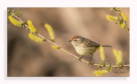 Palm Warbler by Mark Darnell