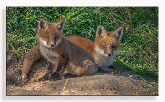 Red Fox Kits by Mark Darnell