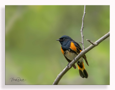 American Red Start by Mark Darnell