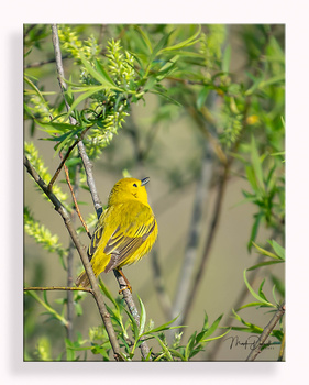 Yellow Warbler by Mark Darnell