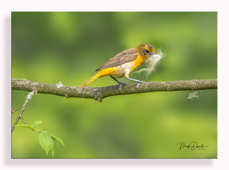 Baltimore Oriole Nesting by Mark Darnell