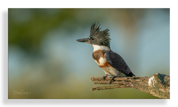 Belted Kingfisher by Mark Darnell