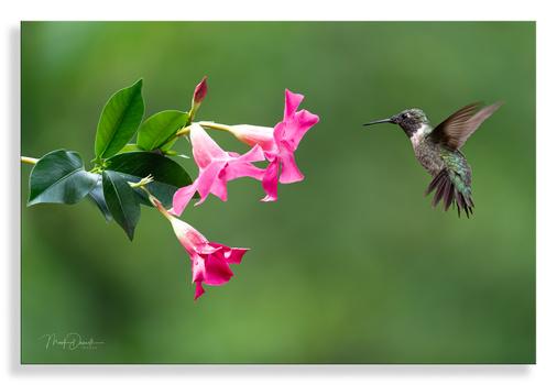 Rubythroat Hummingbird by Mark Darnell
