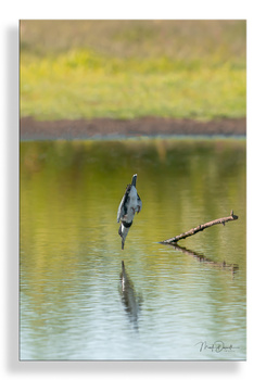 Belted Kingfisher Tuck Dive II: by Mark Darnell