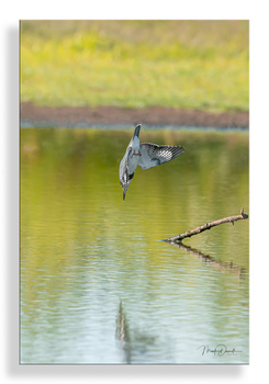 Belted Kingfisher Vertical Dive I: by Mark Darnell
