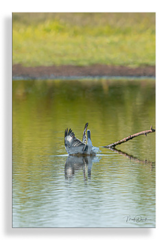 Belted Kingfisher Dive III by Mark Darnell