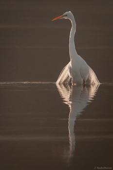 Morning Egret by Jake VanderHoeven