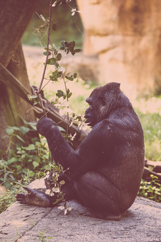 My Time with an Ape