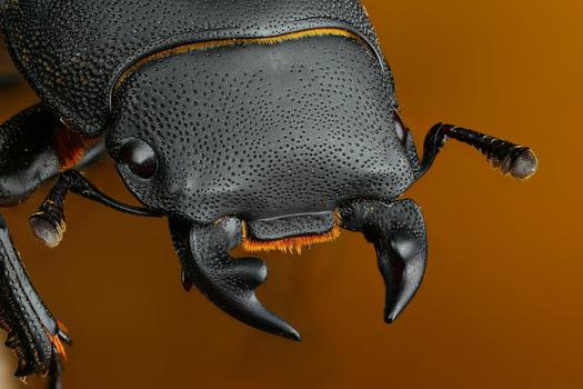 Dorcus parallelipipedus by Andrew Shapovalov