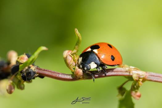 Ladybug by Joel Santos